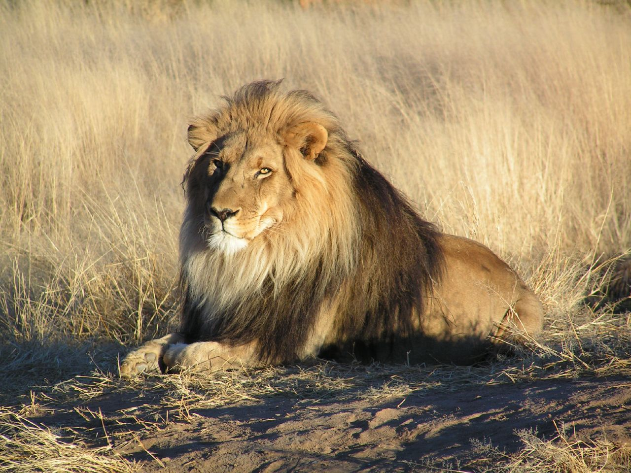 [lion in namib]